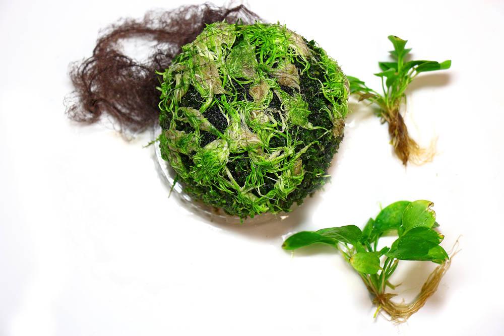 Utricularia graminifolia aufgebunden