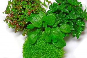 invitro pflanzen wabikusa