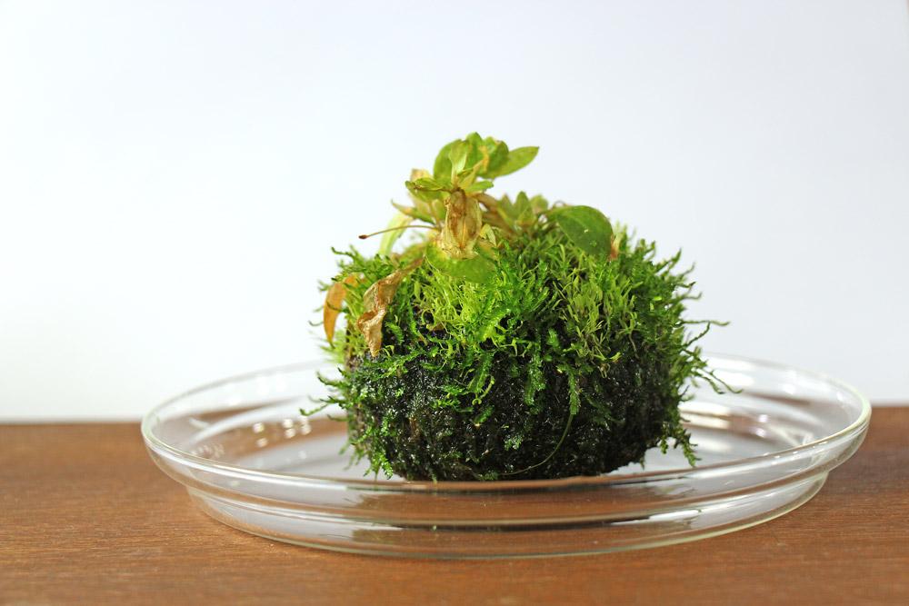 Wabi Kusa 2: bepflanzt mit Ultricularia graminifolia und Ranalisma rostratum.