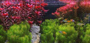 Rote Pflanzen im Aquarium: Tipps