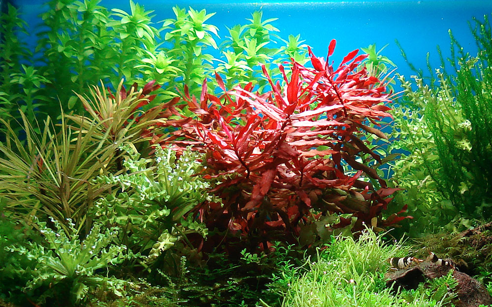 rote Pflanze im Aquarium: rotala macrandra