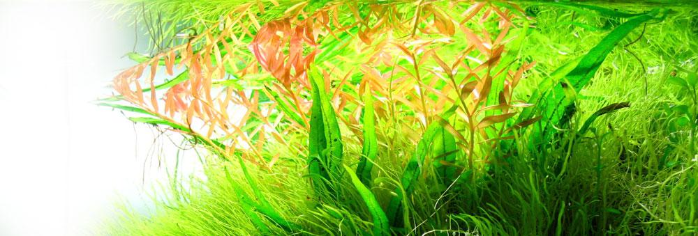 Schwache Färbung der roten Pflanze im Aquarium