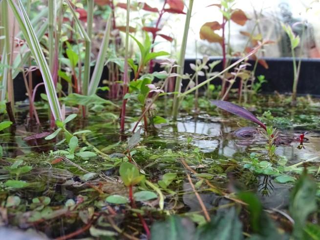 Aquarienpflanzen oberhalb der Wasseroberfläche
