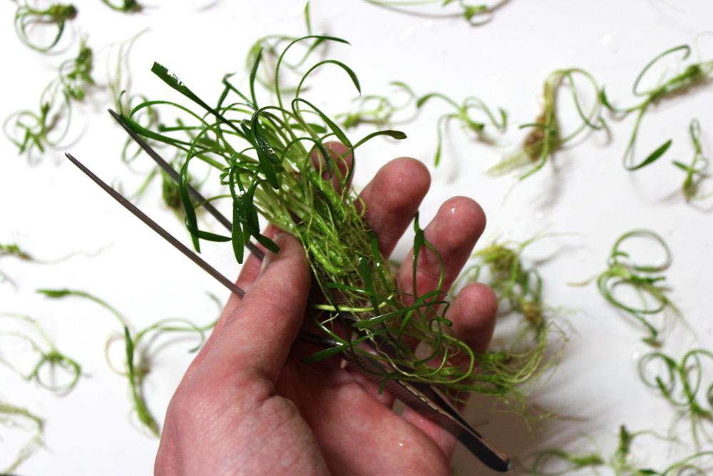 Aquariumpflanzen vorbereiten