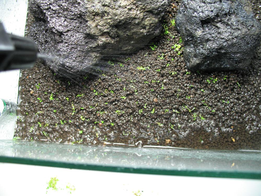 Bodendecker im Aquarium einsetzen