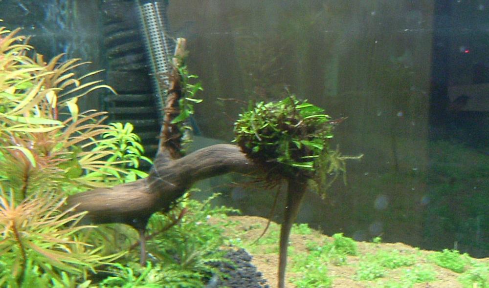 Farn im Aquarium zurückschneiden